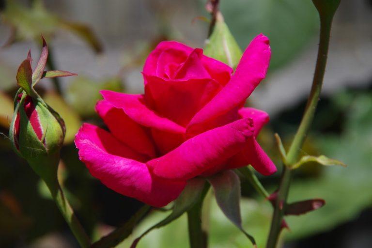 Ogród różany, czyli jak sadzić krzewy róż?